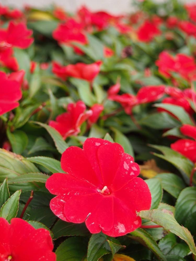 物超所值的非洲凤仙文亮花卉苗木供应-贵州非洲凤仙哪里卖