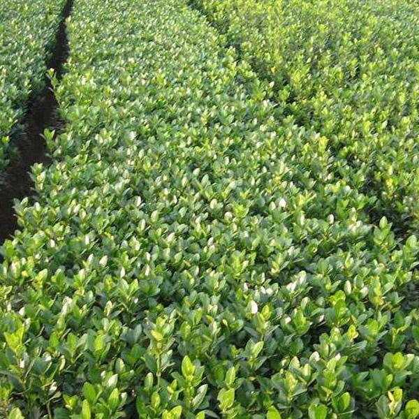 冬青种植基地 哪里能买到划算的冬青