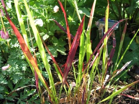 日本血草种植基地 实惠的日本血草推荐