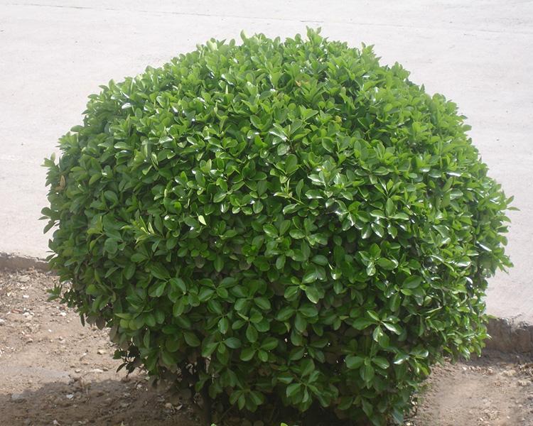 大型大叶黄杨球-潍坊品牌好的大叶黄杨球提供商
