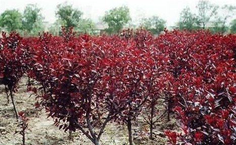 紫叶矮樱找润丰园林_品种优良-紫叶矮樱基地