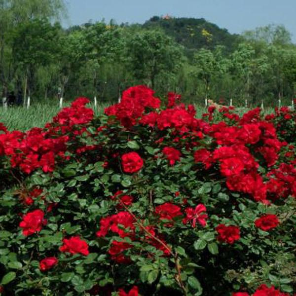 山东树状月季种植基地