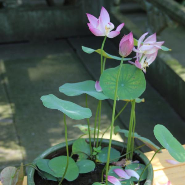青州水生花卉
