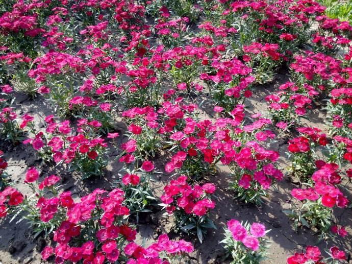 贵州角堇种植基地