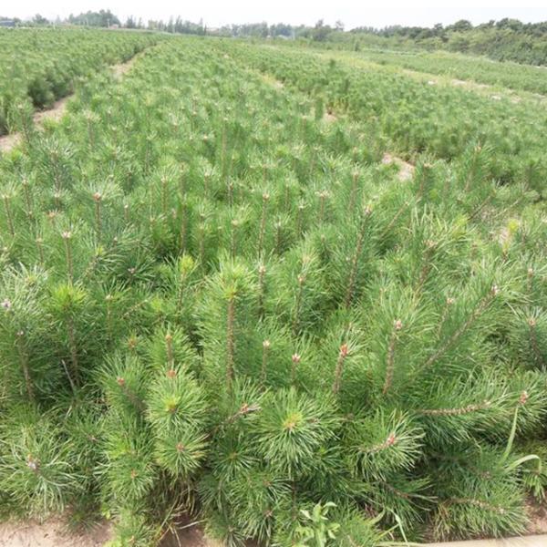油松小苗的栽培方式及其夏季培育注意的事项