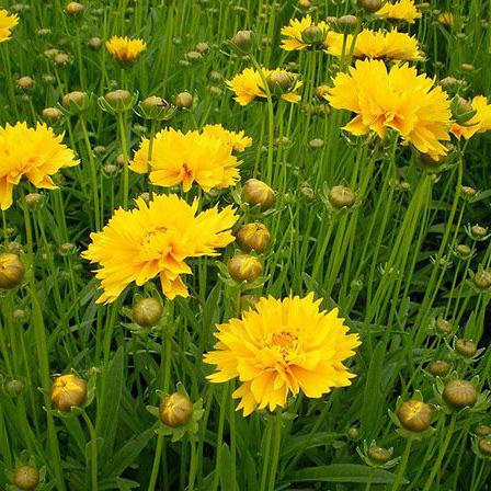鸡冠花的种植养殖方法