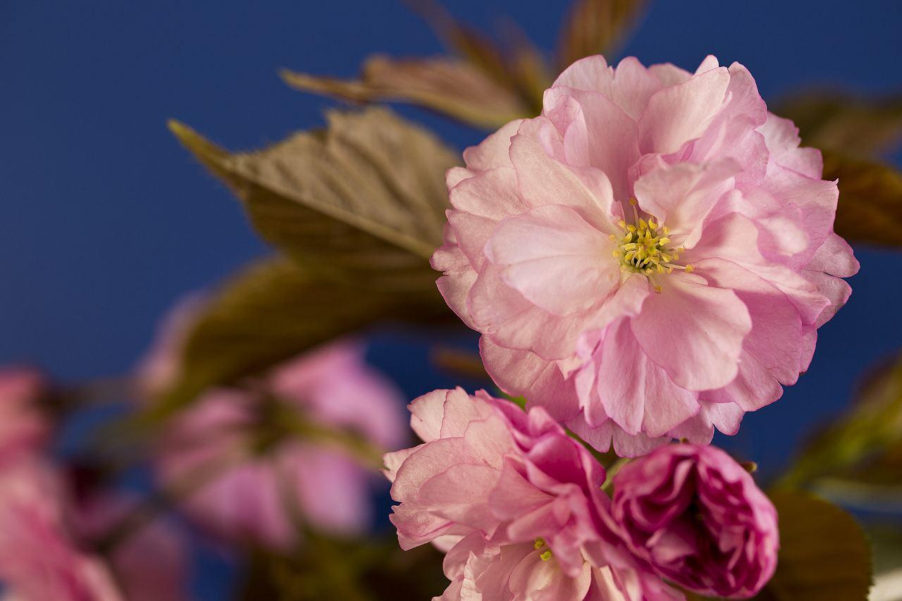 樱花大树基地