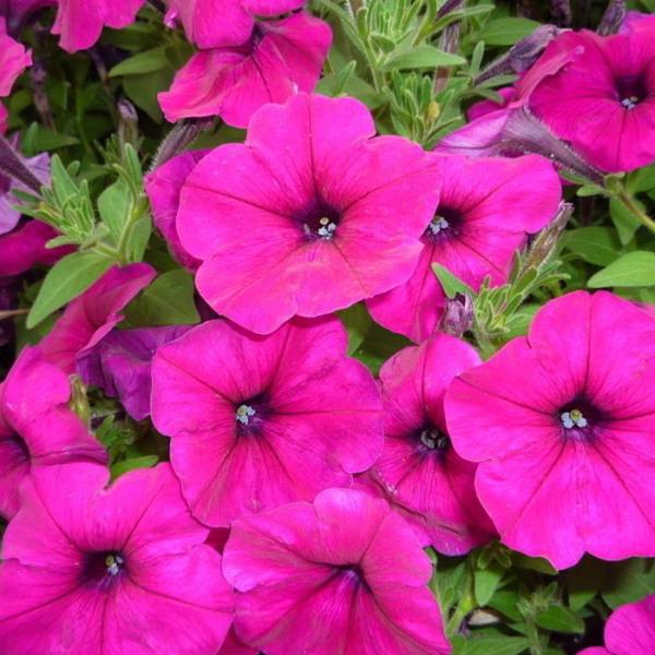 甘肃宿根地被花卉