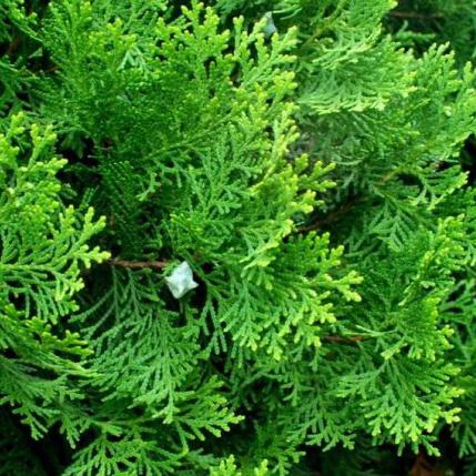 绿化苗木侧柏
