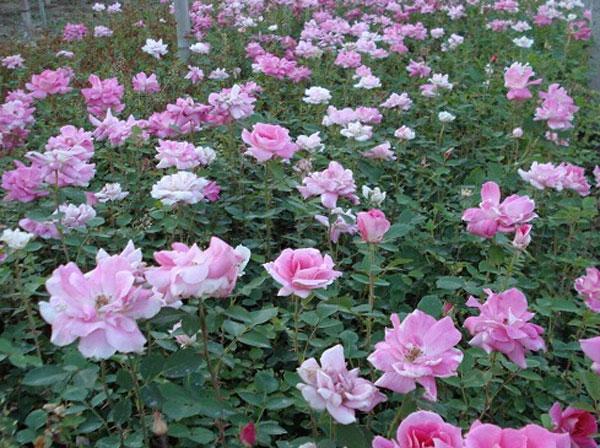 哪里能买到优良丰花月季-丰花月季种植基地