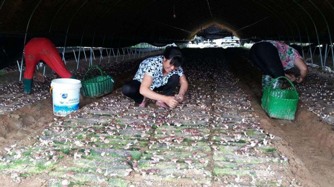 食用菌栽培基地