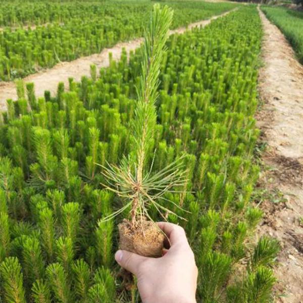 黑松树苗芽处理方法及其雨季排水措施