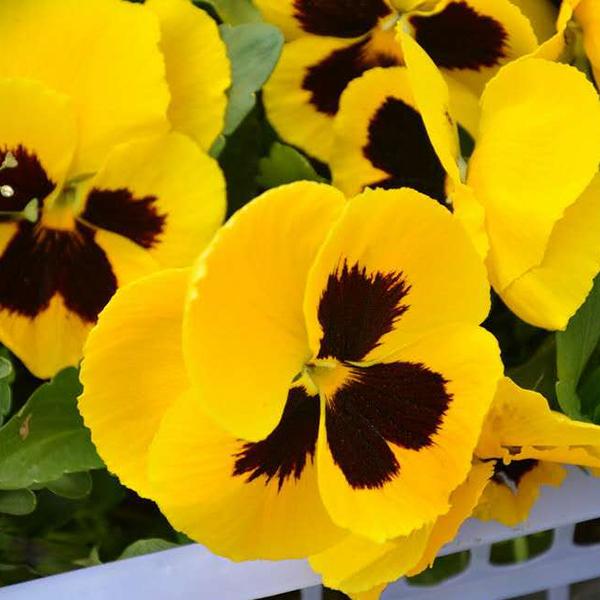 江苏角堇种植基地:角堇养护时的注意事项