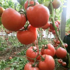 丰产6042西红柿种子
