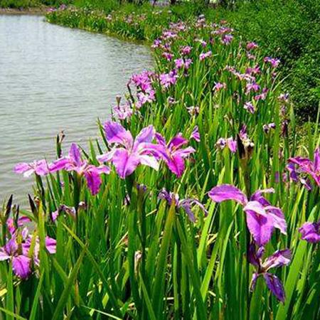山东水生花卉