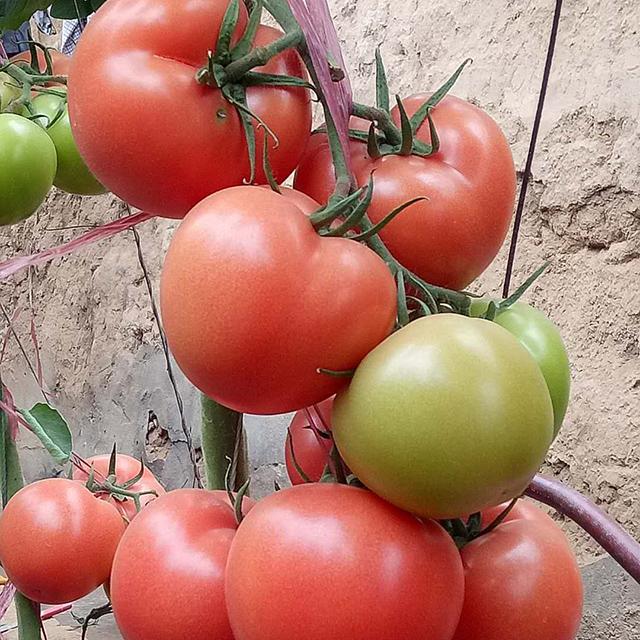 辽宁抗病毒番茄种子公司:病毒的类型和预防方法