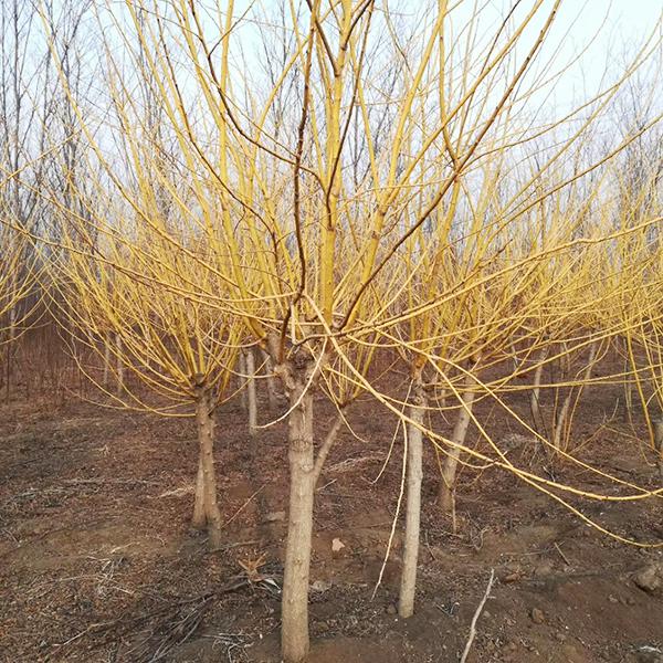 大型黄金槐种植基地