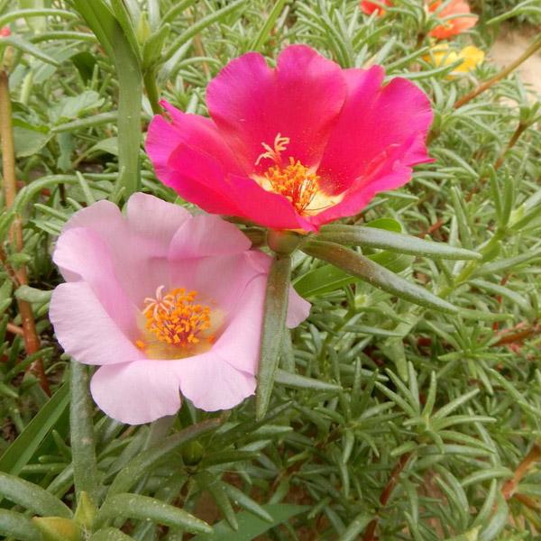 河南绿化草花
