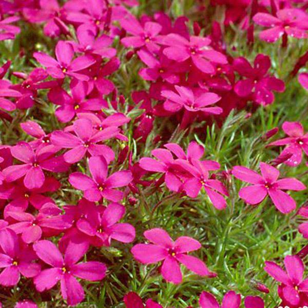 丛生福禄考绿化花卉