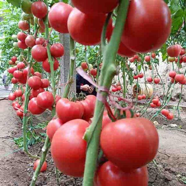 山东抗病毒番茄种子