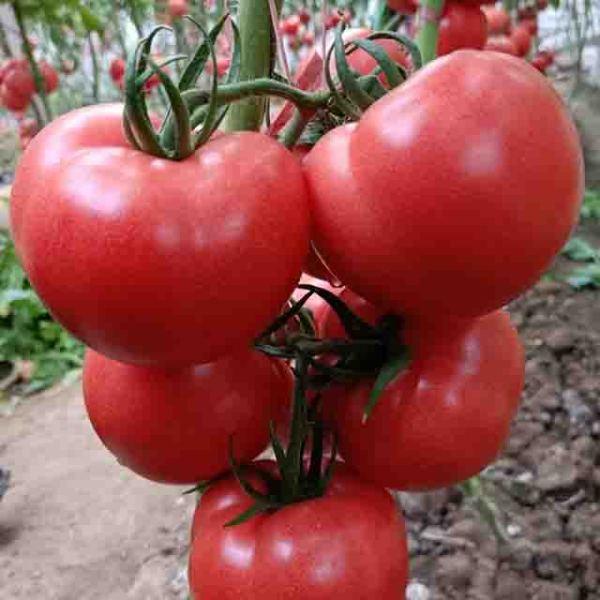 辽宁小番茄种子厂家:关于小番茄的知识面