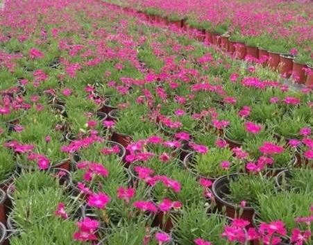 青州欧石竹种植如何施肥