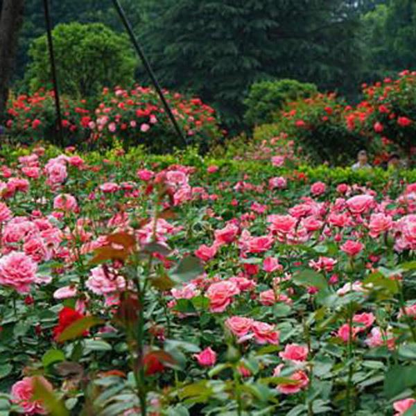 天津绿化月季种植基地