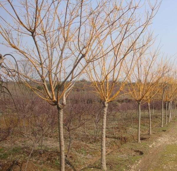 绿化黄金槐种植基地|黄金槐专业供应商