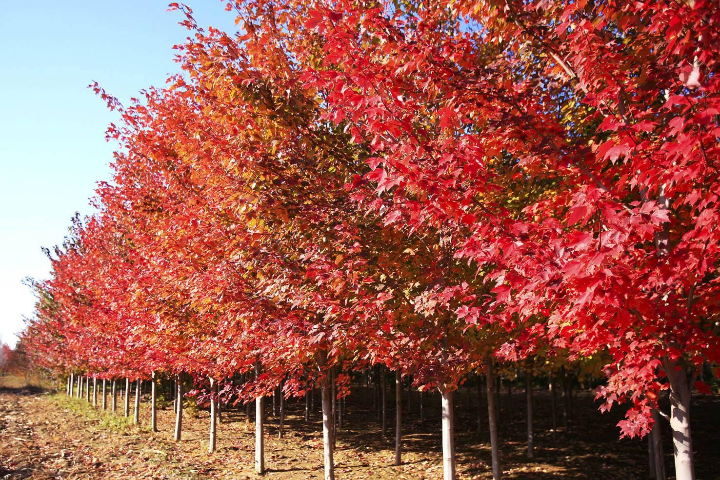 美国红枫大树