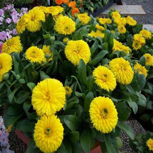 江西国庆菊种植基地分享种植方法