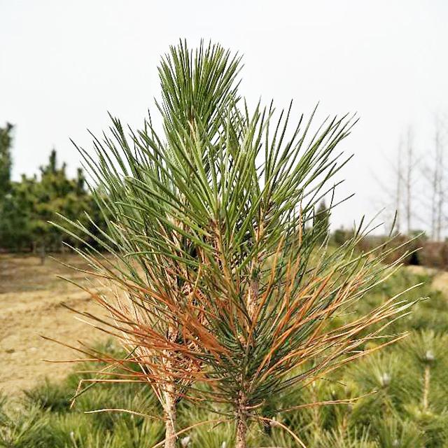 病虫害低的山东黑松苗木出售_山西黑松树苗种植