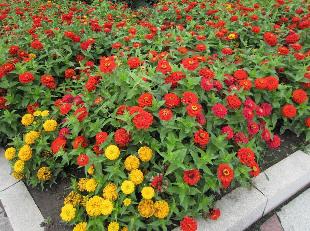 河南百日草行情-文亮花卉苗木出售实用的百日草