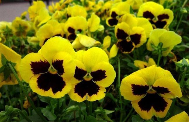 青州观赏草种植基地