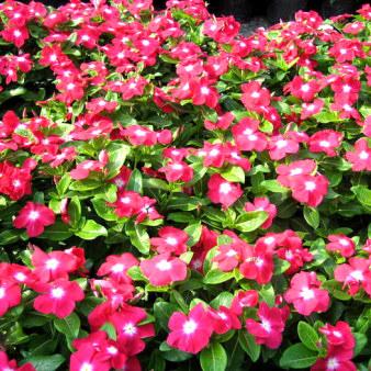 长春花是怎么进行播种育苗的