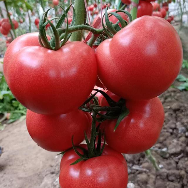 西红柿苗什么时候移栽好