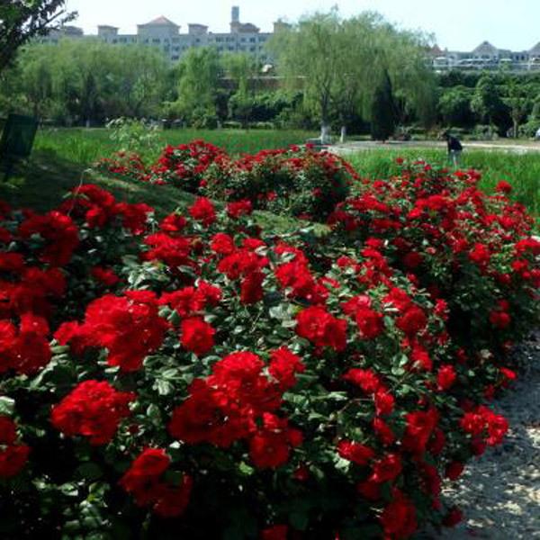 天津大花月季培育种植基地