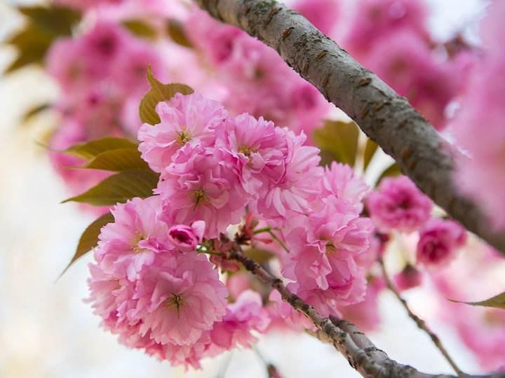 供应山东品种好的樱花-樱花报价