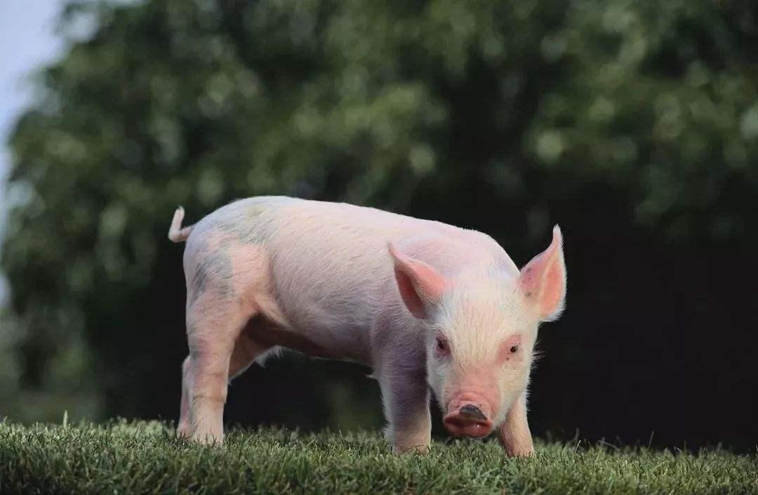 安顺优良的优饲7030乳猪浓缩料哪有卖 厂家推荐银原饲料