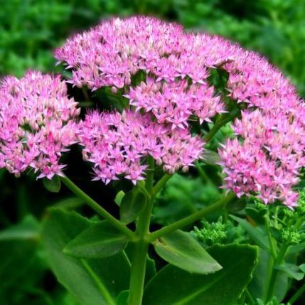 宿根花卉八宝景天