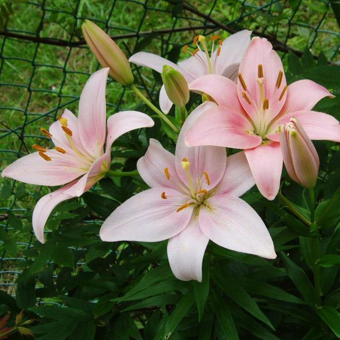 绿化用花卉苗木种植基地