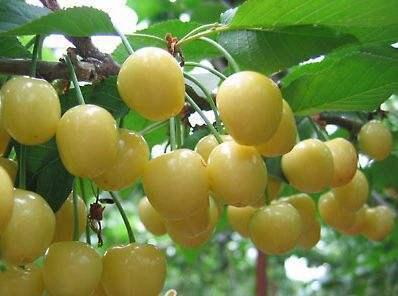 黄玉樱桃苗