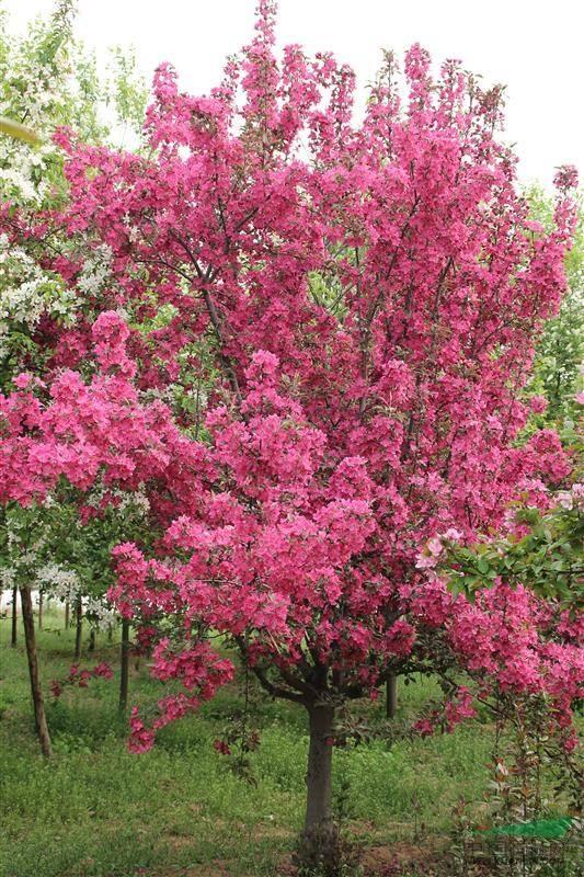 绿化用北美海棠|润丰园林专业供应北美海棠