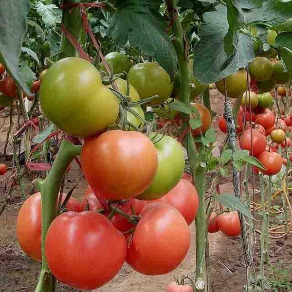抗病毒番茄种子