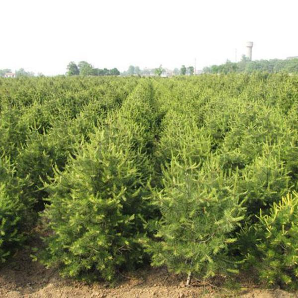 黑松树苗灌溉方法及黑松树苗防寒措施介绍