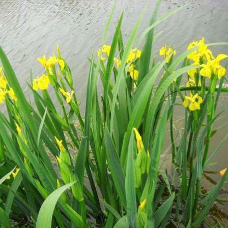 水生鸢尾种植基地:水生鸢尾的应用价值