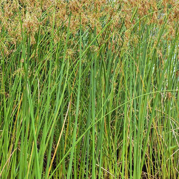 水生鸢尾植物系列品种大全
