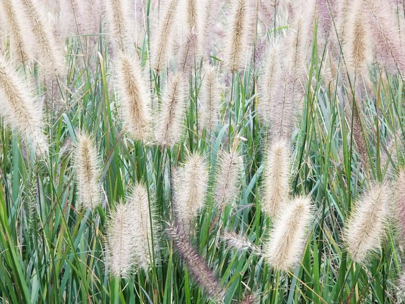 江西观赏草
