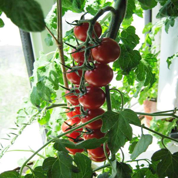 盆栽西红柿