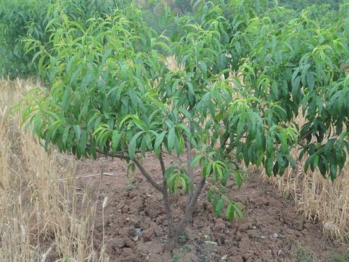 种子繁育烟台桃树苗木方法