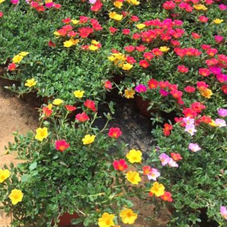 烟台宿根花卉杯苗